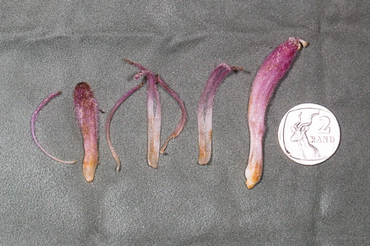 Dissection of Hyobanche thinophila flower showing the bract, two bracteoles, calyx and corolla.