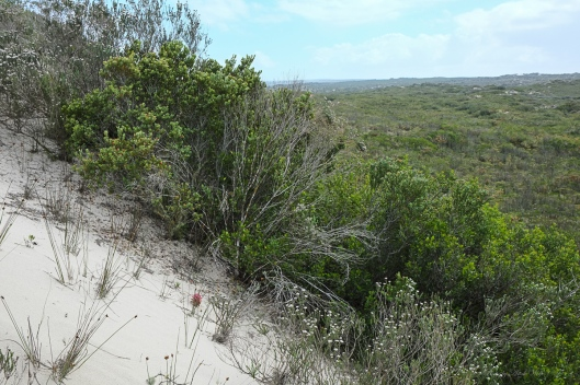 Hyobanche thinophila on the side of an active dune