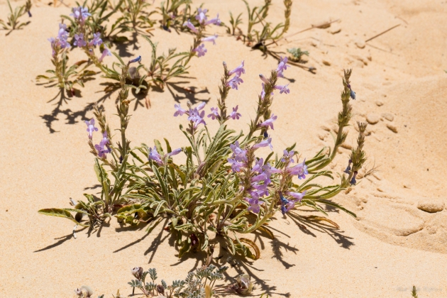 Habitat = sand dune blowouts.